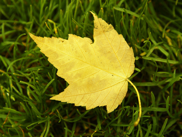 Bright yellow leaf on grass